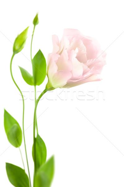 Belo flor isolado branco casamento rosa Foto stock © Taiga