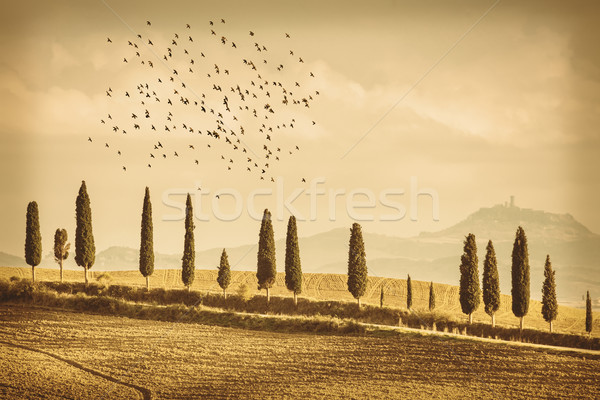Stock photo: Vintage Tuscany Landscape of cypresses trees and birds