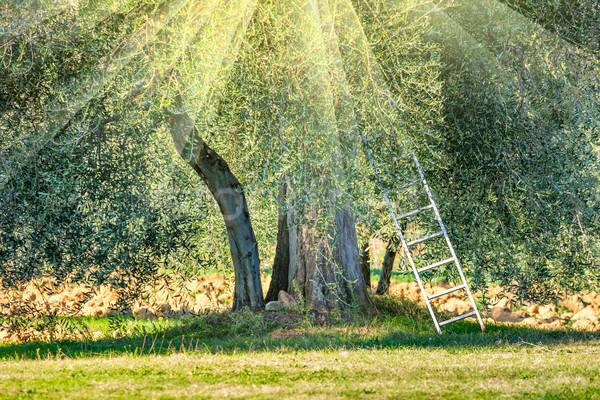 Sunny harvest time  landscape of Olive trees plantation Stock photo © Taiga