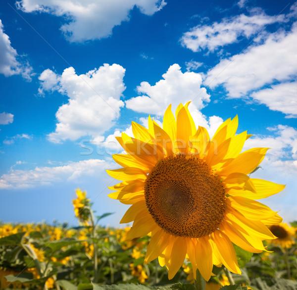 Zonnebloem veld blauwe hemel zomer natuur hemel Stockfoto © Taiga
