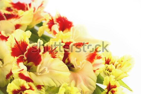 Red and yellow bright gladiolus \ horizontal \ background Stock photo © Taiga