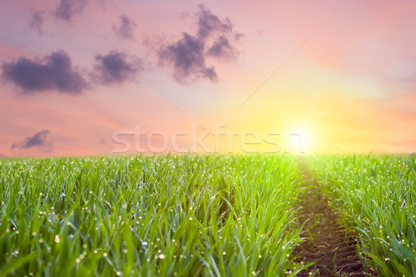 Way to the sun, Fresh Grass with drops of dew overlooking colorf Stock photo © Taiga