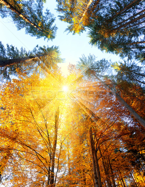 Autumn Trees with sunbeams - beautiful sesonal  background, fall Stock photo © Taiga