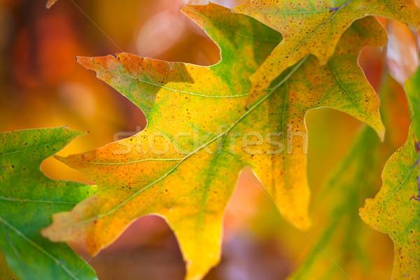 Amazing Colorful Autumn leaves background, soft focus,  fall  Stock photo © Taiga