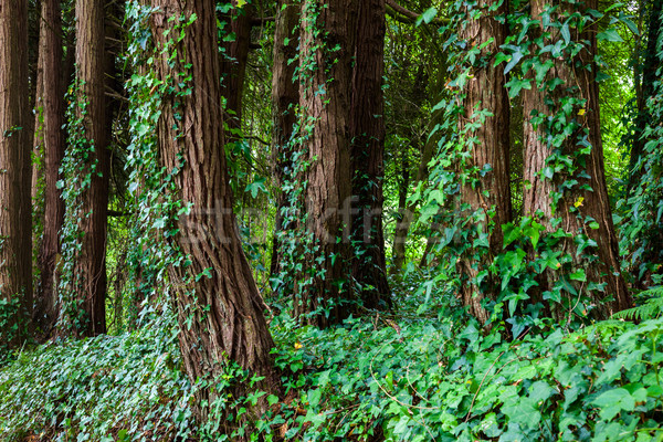 Big trees with ivy lianas in forest Stock photo © Taiga
