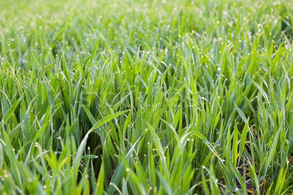 新鮮な 草 値下がり 露 緑 生態学 ストックフォト © Taiga