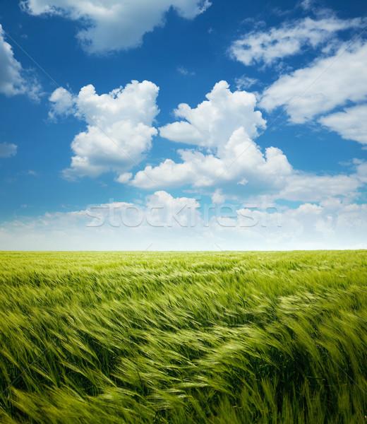 Kapzsiság búzamező kék ég felhők fehér égbolt Stock fotó © Taiga