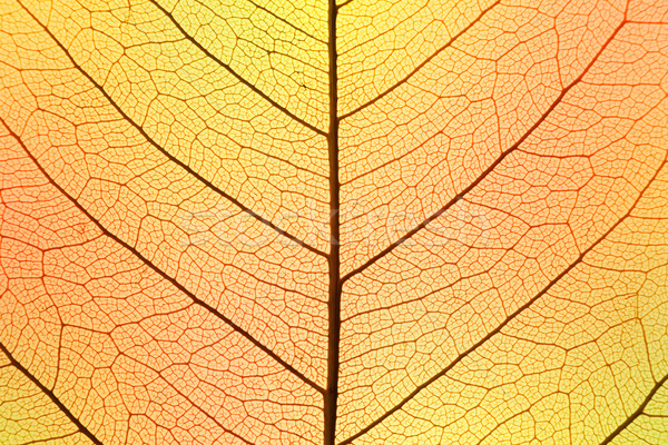 Background of Autumn colors Leaf cell structure - natural textur Stock photo © Taiga