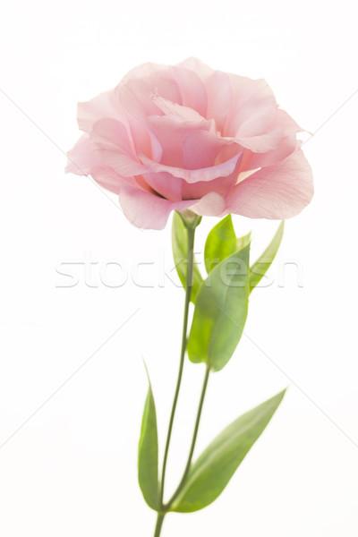 Fresh pink rose on white background Stock photo © Taiga