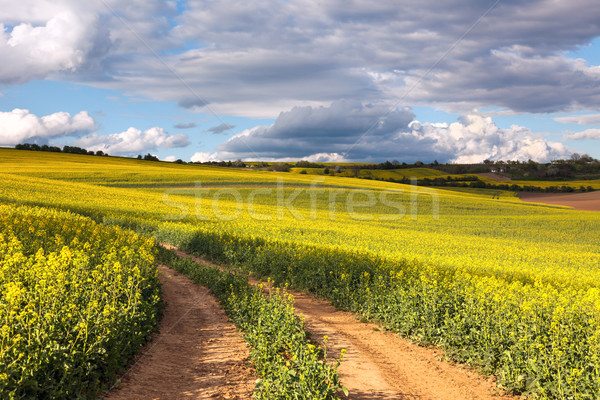 Yellow canola fields and ground road overlooking a valley, rural Stock photo © Taiga