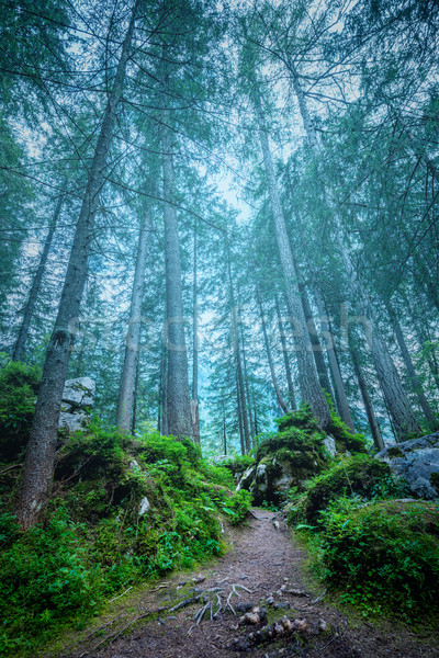Dark misty forest landscape - big trees, path, roots and stones  Stock photo © Taiga