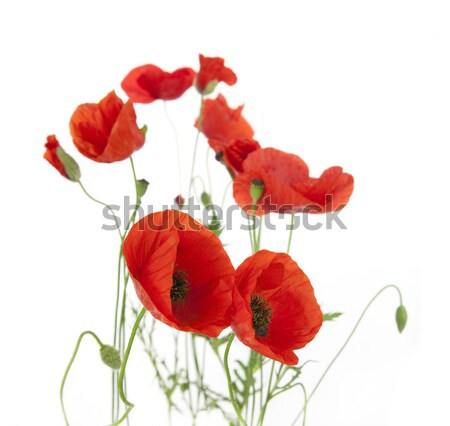 Poppies isolated on white background / focus on the foreground / Stock photo © Taiga
