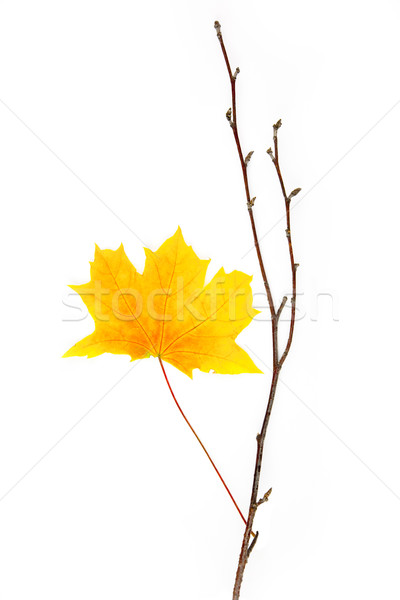 Autumn design element  / beautiful real leaves / isolated on whi Stock photo © Taiga