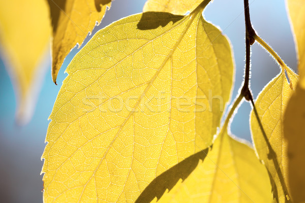 Autumn leaves against blue sky - fall season background Stock photo © Taiga
