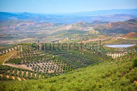 Olive Trees Plantation, Andalusian landscape, Spain, Europe Stock photo © Taiga