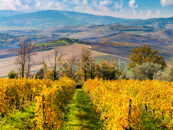 Aerial Autumn landscape - Golden Rows of Vineyard and beautiful  Stock photo © Taiga