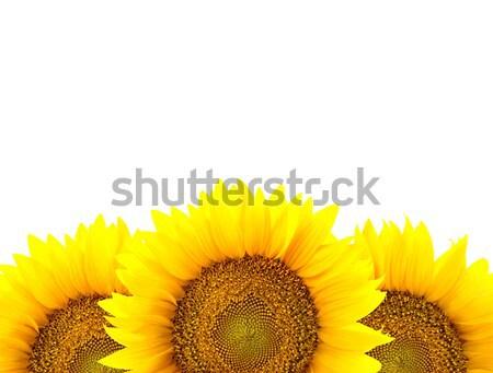 Grens groot zonnebloemen geïsoleerd witte bloemen Stockfoto © Taiga