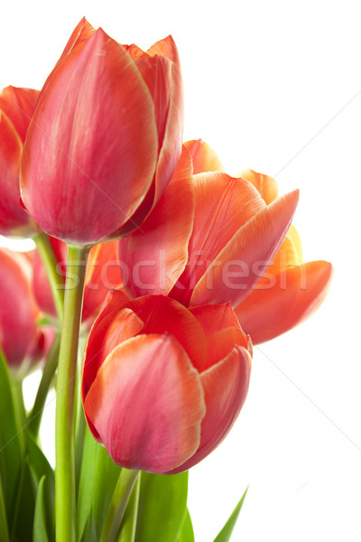 Fresh Beautiful Tulips / isolated on white / vertical with copy  Stock photo © Taiga