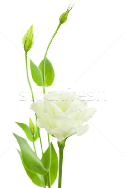 Delicate White Flowers Background with Buds /  Eustoma ( Lisiant Stock photo © Taiga