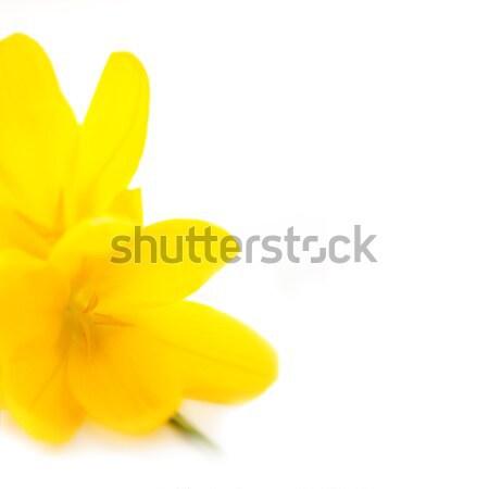 желтый весны цветы макроса белый фон Сток-фото © Taiga