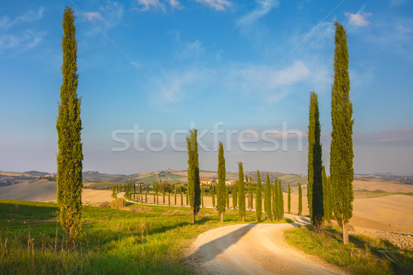 Cypresses Trees and ground road, morning -  Tuscany Stock photo © Taiga