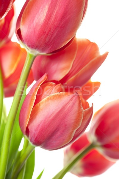 Photo stock: Fraîches · belle · tulipes · isolé · blanche · vertical
