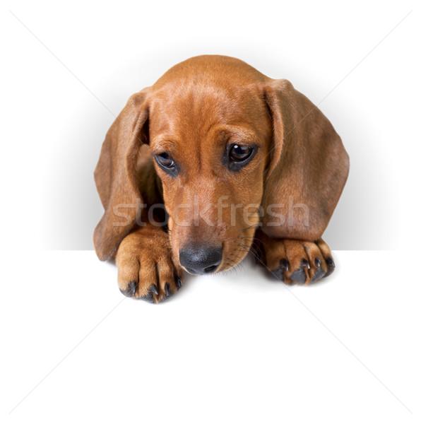 Cute teckel puppy witte banner tekst Stockfoto © Taiga