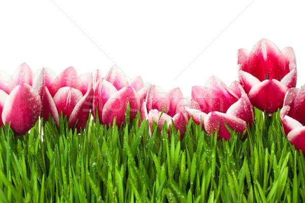 Frescos tulipán hierba verde gotas rocío aislado Foto stock © Taiga
