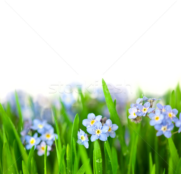 Small Blue Flowers into green Grass  / isolated on white backgro Stock photo © Taiga