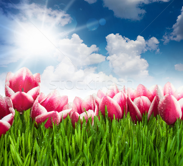 Beautiful  Pink Tulip Flowers and Grass against  blue Sky and Su Stock photo © Taiga