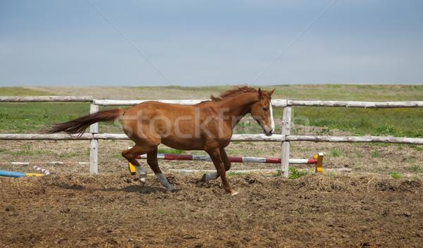Horse Running / sports training Stock photo © Taiga