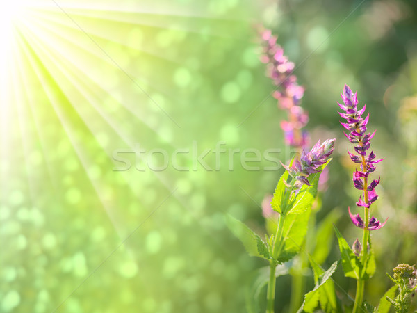 Fantastic  background of wild flowers with golden sunbeams Stock photo © Taiga