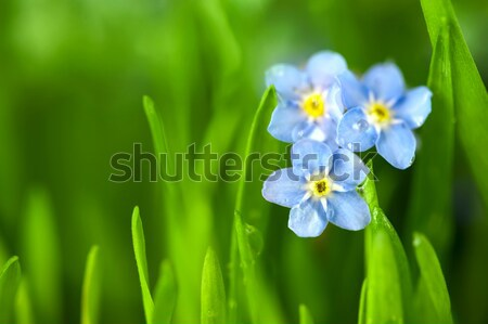 Forget-me-not Flowers with Drops on Natural Blured Background  Stock photo © Taiga