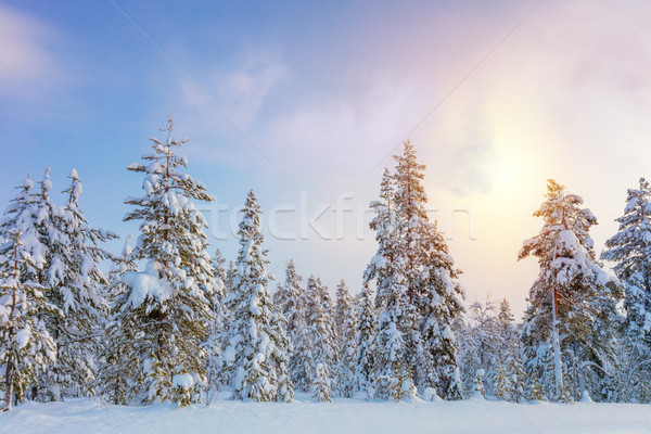 Gentle Winter Sundown - northern snowy forest landscape Stock photo © Taiga