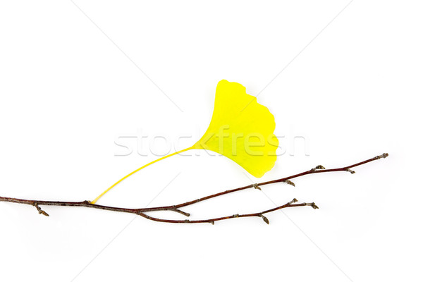 Autumn Ginkgo Biloba leaves / Beautiful Composition / isolated o Stock photo © Taiga