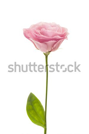 Fresh pink eustoma isolated on white Stock photo © Taiga