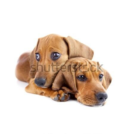 Kutyák kettő aranyos tacskó kiskutyák izolált Stock fotó © Taiga