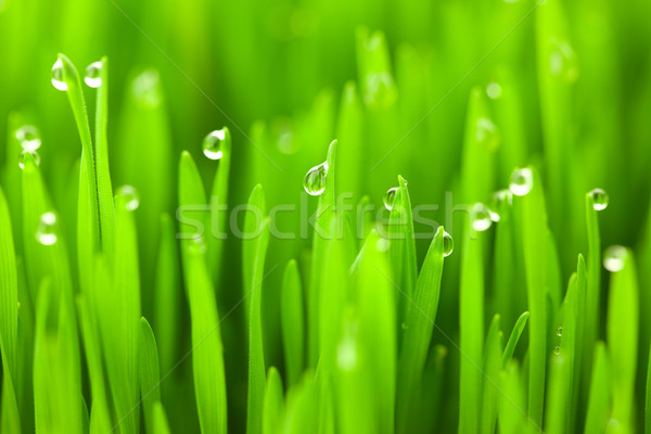 Fresh green wheat grass with drops dew / macro background Stock photo © Taiga