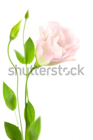 Puro rosa aislado blanco romántica Foto stock © Taiga