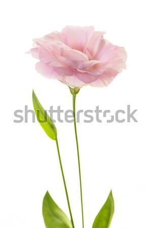 Zuiver roze vers bladeren geïsoleerd witte Stockfoto © Taiga