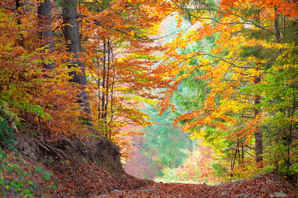 Stock photo: Beautiful Autumn Trees in the colorful forest, yellow, green  an