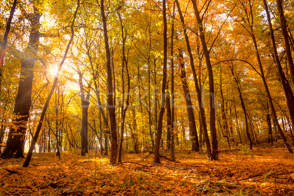 Morning in the Gold Autumn park with sunlight and sunbeams -  Be Stock photo © Taiga
