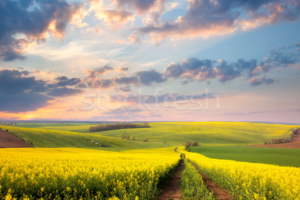 Yellow flowering fields, ground road and beautiful valley Stock photo © Taiga