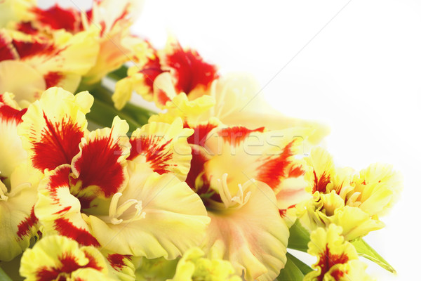 Red and yellow gladiolus \ horizontal \ isolated Stock photo © Taiga