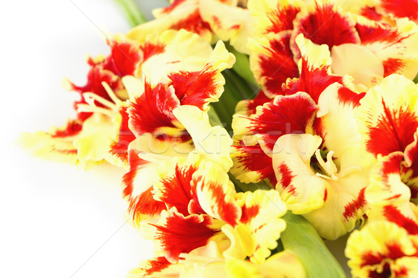 Red and yellow bright gladiolus \ horizontal \ isolated Stock photo © Taiga