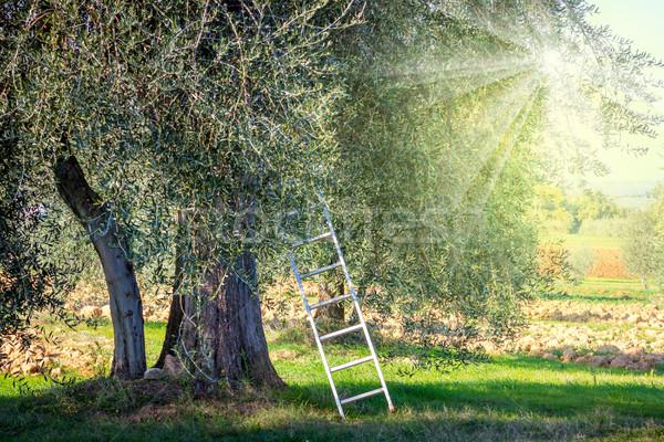 harvest time  landscape of Olive trees plantation Stock photo © Taiga