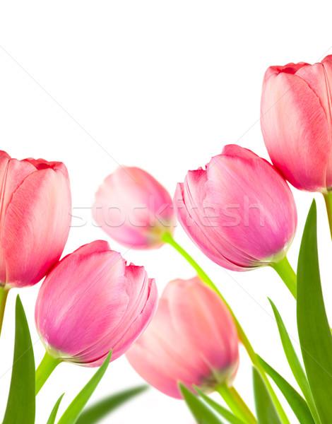 Piękna wiosną tulipany wakacje odizolowany biały Zdjęcia stock © Taiga
