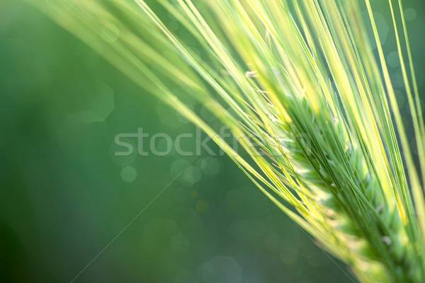 Wheat Defocused Background whith copy space  Stock photo © Taiga