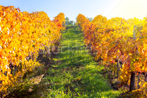 Autumn landscape - Golden Rows of Vineyard Stock photo © Taiga
