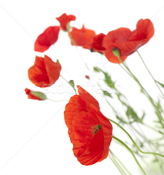Poppies isolated on white background / focus on the foreground  Stock photo © Taiga